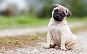 Что такое брахицефалия, и как эта патология лечится у собак?