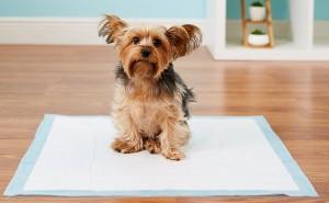 Правильное приучение щенка йорка к пеленке и лотку в домашних условиях