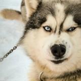 Стоит ли заводить щенка аляскинского маламута? Описание породы и характер питомцев