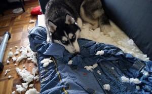 Подходит ли порода собак хаски для проживания в квартире?