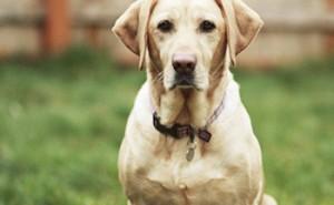 Все об одной из самых популярных и любимых пород среди собачников лабрадоре-ретривере