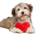 По каким причинам у собаки может быть сердечный приступ, как оказать ей первую помощь?