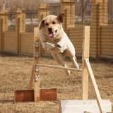 Когда нужно приступать к дрессировке щенка лабрадора и с чего нужно начинать?