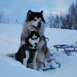 Чем хаски отличается от аляскинского маламута? Их главные отличия