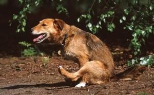 Как диагностировать глистов у собак и как их вывести в домашних условиях?