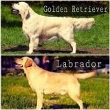 Чем золотистый ретривер отличается от лабрадора ретривера?