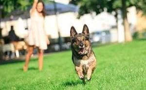 Эффективная тренировка для обучения собаки команде апорт