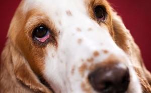 Симптомы и методы лечения сухого кератоконъюнктивита у собак