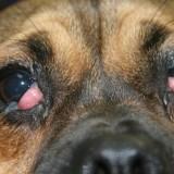Причины возникновения аденомы третьего века у собак и методы ее лечения
