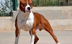 Может ли такой грозный пес, как американский стаффордширский терьер быть добрым и ласковым питомцем? Все о породе