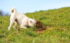 Причины, по которым собака ест землю, а также методы устранения данной проблемы