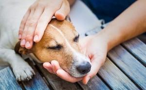 Симптомы дирофиляриоза у собак, а также методы лечения данного заболевания