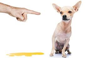 Недержание мочи у собаки – это плохое воспитание питомца или же заболевание?