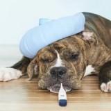 Что такое парагрипп и как защитить свою собаку от этой болезни?