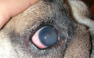 Как лечится кератит у собак, и что нужно для восстановления зрения?