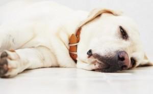 Что является возбудителем кокцидиоза, и как эта болезнь лечится у собак?