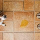 Симптомы цистита у собак, а также методы его лечения