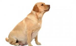 Как вовремя обнаружить мастопатию у собаки и когда нужно обращаться к ветеринару?