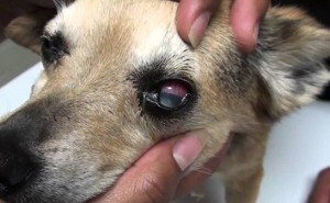 Первые признаки глаукомы у собак, а также лечение недуга