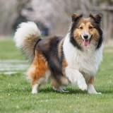 Как научиться понимать настроение собаки по ее хвосту?