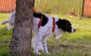 Как диагностировать простатит у собаки, и что применять для лечения болезни?
