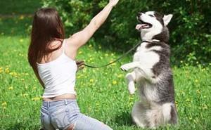 Как правильно воспитывать щенка породы хаски в домашних условиях?