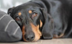 Что такое парвовирусный энтерит и как его лечить у собак?