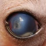 Как диагностировать язву роговицы у собак и когда нужно обращаться к ветеринару?