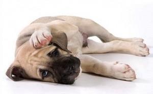 По каким причинам у собаки может появиться плохой запах из ушей и что с этим делать?