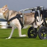 Как лечить дисплазию у собак и как ухаживать за больным питомцем?