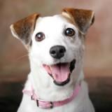 Подробный разбор породы собак джек-рассел-терьер. Как за ними ухаживать и чем кормить?