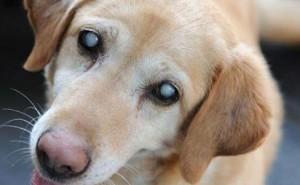 Симптомы катаракты у собак, а также методы ее лечения