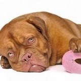 Причины поноса у собак и можно ли давать животным человеческие лекарства от диареи?