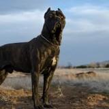 Подробный обзор породы собак кане-корсо, ее плюсы и минусы