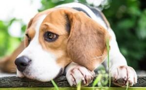 Сложно ли дрессировать щенка породы бигль? Вся правда об этой собаке