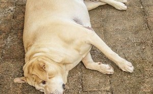 По каким причинам у собаки может быть заворот кишок и как лечится это заболевание?