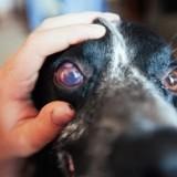 Почему у собаки может покраснеть только один глаз и как ей помочь в домашних условиях?