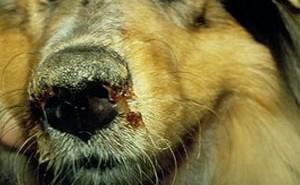 Как уберечь собаку от чумки и как лечить ее в случае инфицирования?