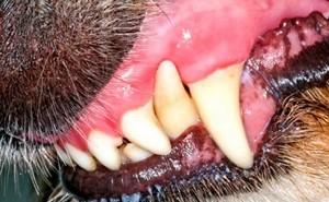 Лечение стоматита у собак, а также правила ухода за ротовой полостью питомца