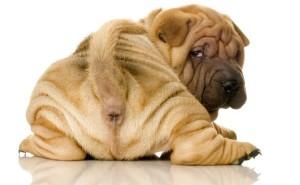 Симптомы геморроя у собак и какие методы лечения этого недуга существуют?