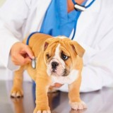 По каким причинам у собак бывает воспаление легких, и как правильно лечить эту болезнь?