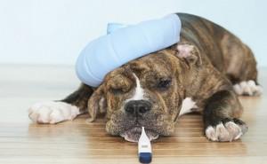 Что такое аденовирусная инфекция и как правильно ее лечить у собак?