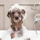 Что будет, если искупать собаку человеческим шампунем?