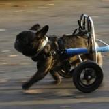 По каким причинам собаку может парализовать, и что делать в этом случае?