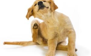 Что такое блошиный дерматит у собак и насколько он опасен для здоровья животного?