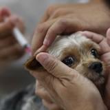 Как часто нужно прививать собаку от бешенства и можно ли делать это самостоятельно?