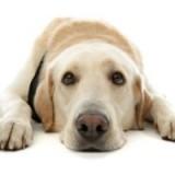 Может ли эндометрит повлиять на детородную способность собаки? Подробно о болезни