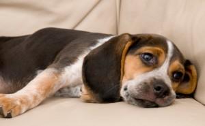 Как проявляется энтерит у собак и какие методы его лечения существуют?
