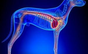 Что такое ДКМП у собак и насколько эта болезнь опасна для жизни питомца?