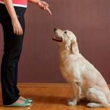 Лучшие методы обучения собаки команде сидеть в домашних условиях